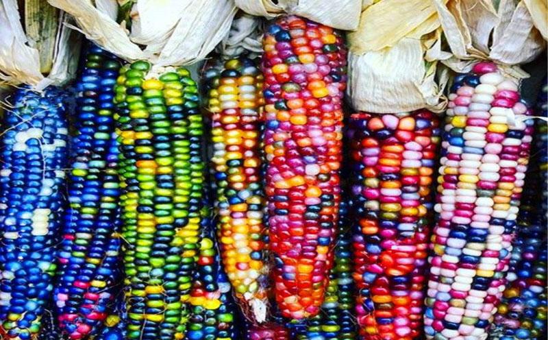 Когда люди одомашнили кукурузу – царицу мезоамериканских полей