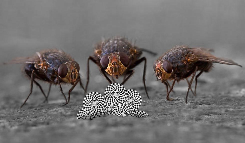 Как мы видим оптические иллюзии: отвечают мухи